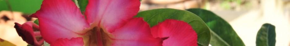 cropped-pink-desert-rose.jpg